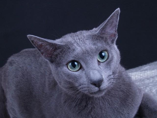Gracja Hodowla Kotów Rosyjskich Niebieskich Kocięta Rosyjskie